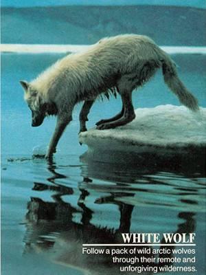 گرگ سفید